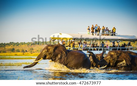 African Elephants swimming across the Chobe River, Botswana with tourists on safari watching on