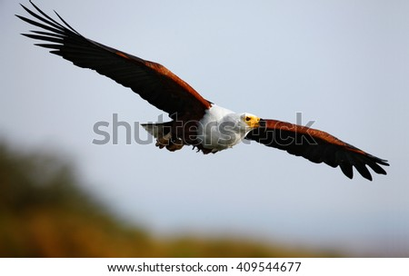 African fish eagle in flight with clean green-yellow background