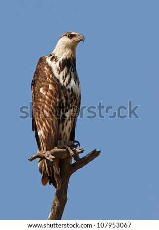 African fish eagle perched high, South Africa
