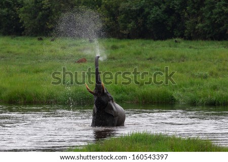 African forest elephant bathing