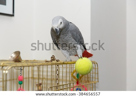 African Grey parrot sitting on the cage played ball tennis