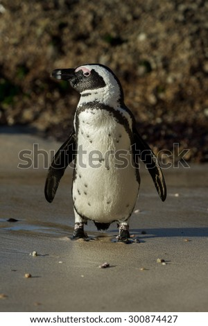African penguin along the shoreline of Boulder's Beach near Cape Town, South Africa.