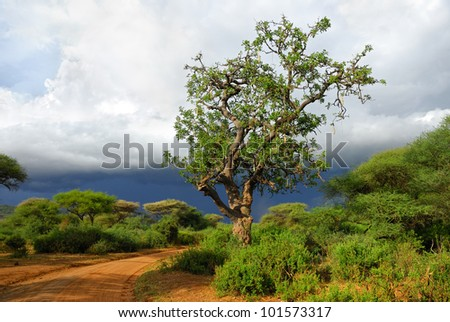 African road and big sausage tree (Kigelia africana) is a typical plant in tropical Africa shown at sunset near Manyara Lake, Tanzania