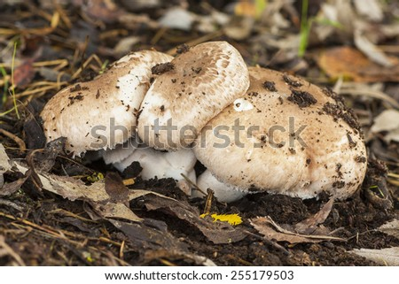 Agaricus growing on the forest floor
