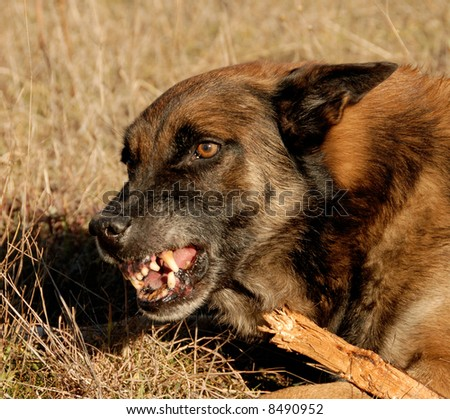 aggressive purebred belgian shepherd malinois in a field