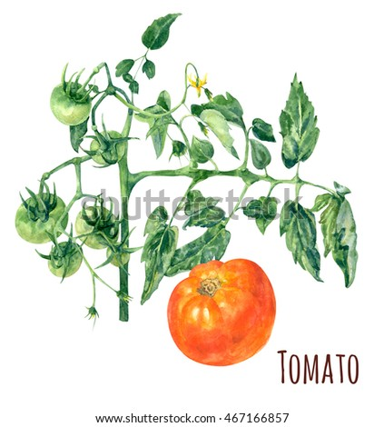Agriculture concept. Green tomatoes on branch with leaves and yellow flower. Orange tomato. Watercolor botanical illustration