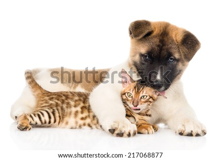 Akita inu puppy dog with bengal cat together. isolated on white background