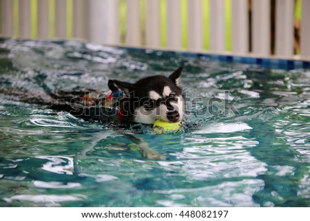 Alaskan malamute enjoyed with rubber toy in swimming pool, dog swimming, happy dog, dog activity