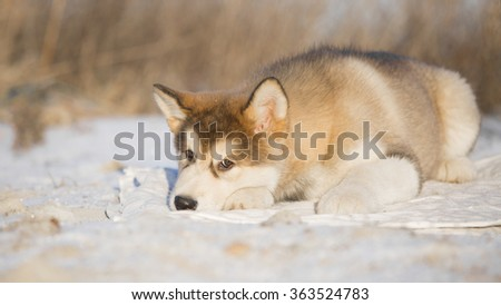 Alaskan Malamute on a winter field