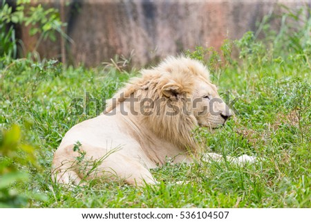 Albino lion resting in the daytime.