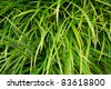 All beautiful leaves of spider plant (St. Bernard's Lily) - stock photo