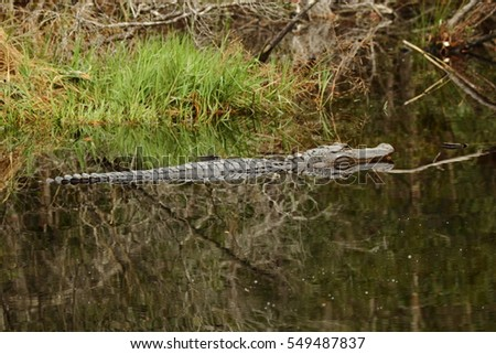 ALLIGATOR HANGING OUT