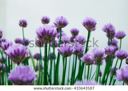Allium decorative bow