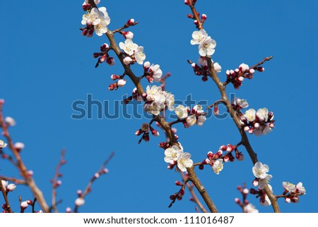 almond flowers blooming at springtime