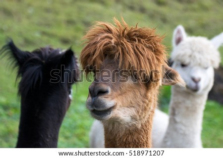 alpaca brown black white  portrait nature
