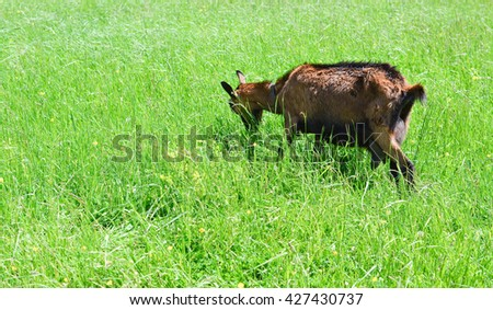 Alpine goat grazing on the pasture