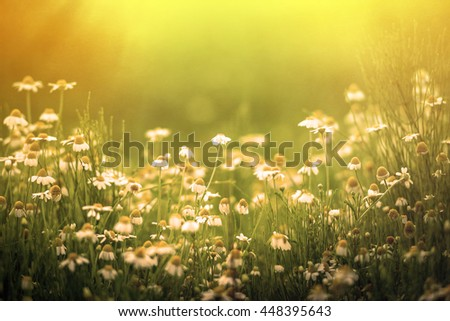 Amazing chamomile field. Summer flowers .