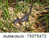 American alligator in the Everglades National Park - Florida - stock photo