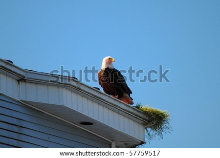 American bald eagle perched on nest