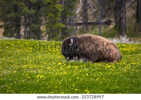 American bison in Yellowstone National Park Summer