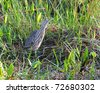 American Bittern (botaurus, lentiginosus) hunting for some food in the Florida Everglades National Park - stock photo