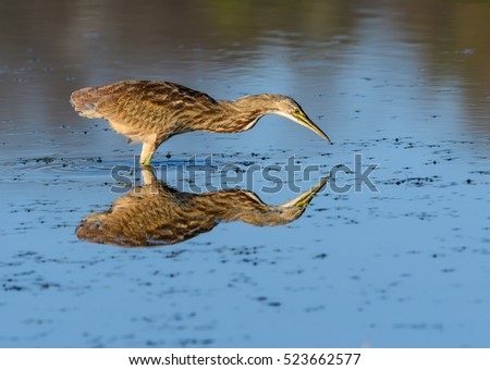 American Bittern with Reflection