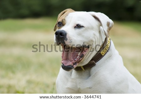 American bulldog - outdoor portrait