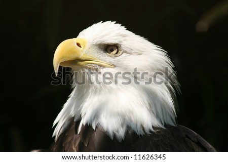 American Eagle Basking In Sunlight