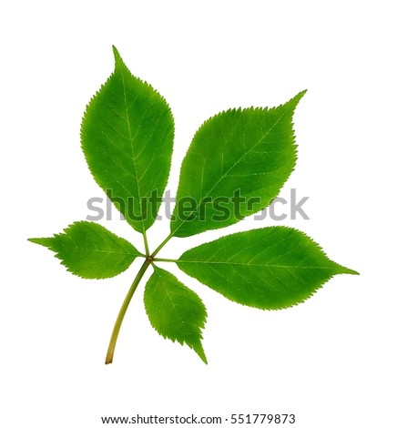 American Ginseng leaves (Panax quinquefolius) isolated on a white background.