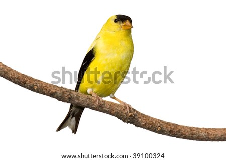american goldfinch at rest on white background