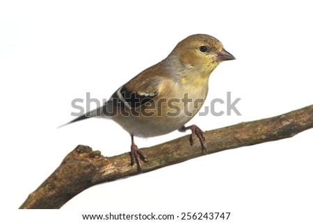 American Goldfinch (Carduelis tristis) perched in a tree with a white background
