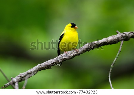 American goldfinch perched on a branch in the woods