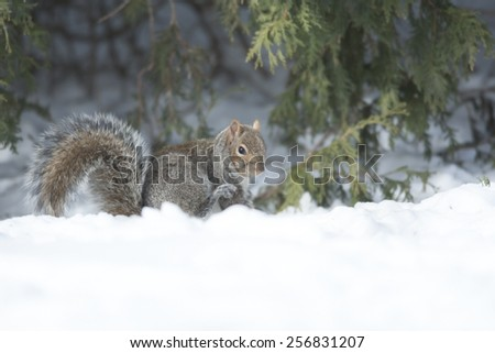 American Grey Squirrel Scratching In The Snow
