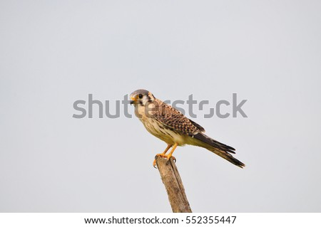 American kestrel (Falco sparverius) perched on a fence post in rural Panama