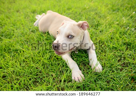 American pitbull puppy lying on grass