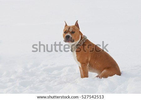American Staffordshire Terrier dog in the snow