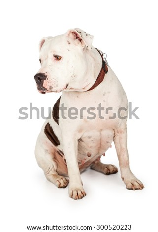 American Staffordshire Terrier Dog sitting at an angle. Dog's head is turned off to the side so profile of head is visible.