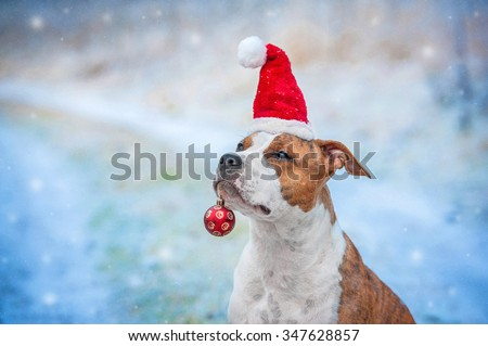 American staffordshire terrier dog with a santa claus hat and a christmas ball sitting outdoors in winter