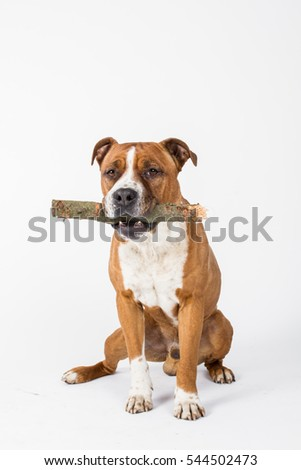 American staffordshire terrier, dog with stick
