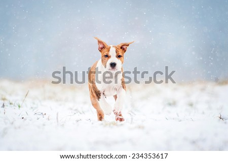 American staffordshire terrier puppy running in a snowy day