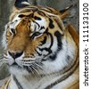 Amur Tiger (Panthera Tigris Altaica) Resting - stock photo