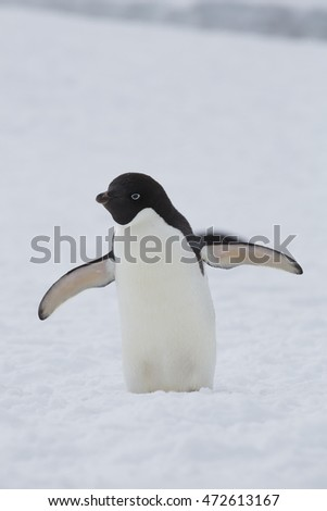An Adelie penguin walking in the snow