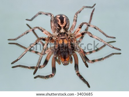 An adult female wolf spider is sitting on a mirror.