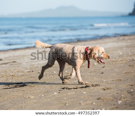 An adult hybrid dog is playing at the seaside
