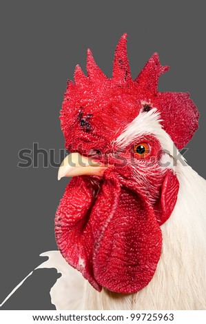 An adult rooster. isolated