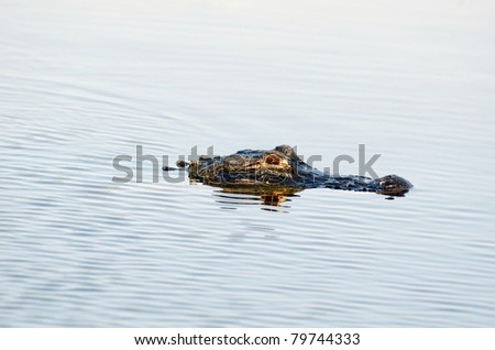 An American alligator in the still water of a Florida pond