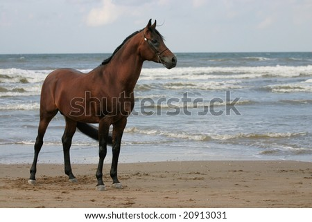 An Arabian stallion standing on the beach