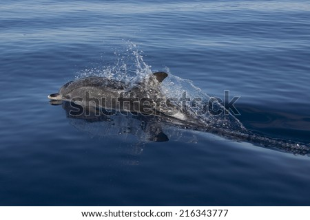 an atlantic spotted dolphin (Stenella frontalis) in Atlantic Ocean near Pico (Azores)