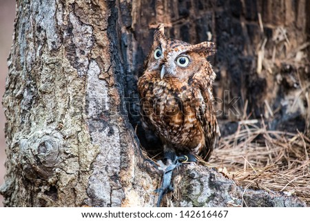 An Eastern Screech Owl in a hallowed out tree. Blending into the surroundings.