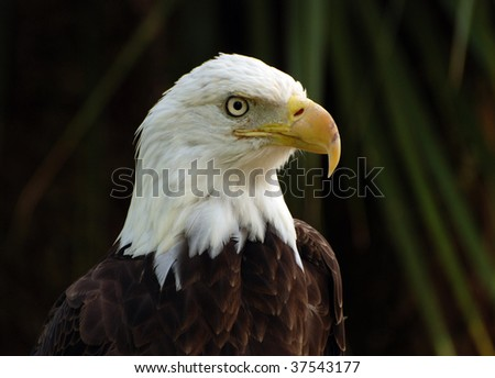 An image of a bald eagle